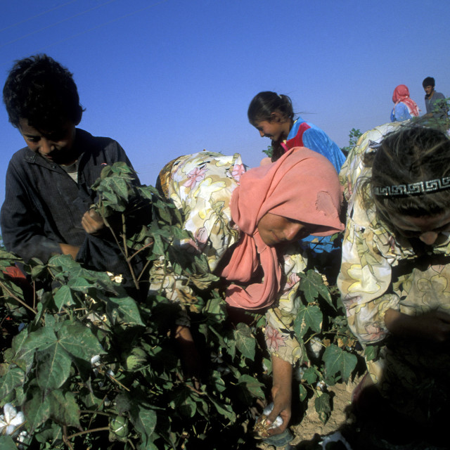 """""""MIDDLE EAST SYRIA ALEPPO COTTON PLANTATION"""" stock image"""