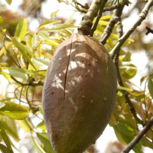 """Silk Floss tree"" stock image"
