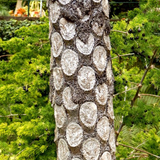 """Silver Fern Tree"" stock image"