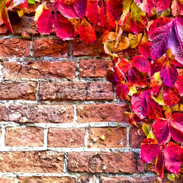 """""""Climbing plant on a wall"""" stock image"""