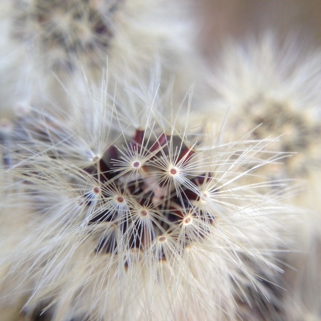 """""""Seed head from a flower"""" stock image"""