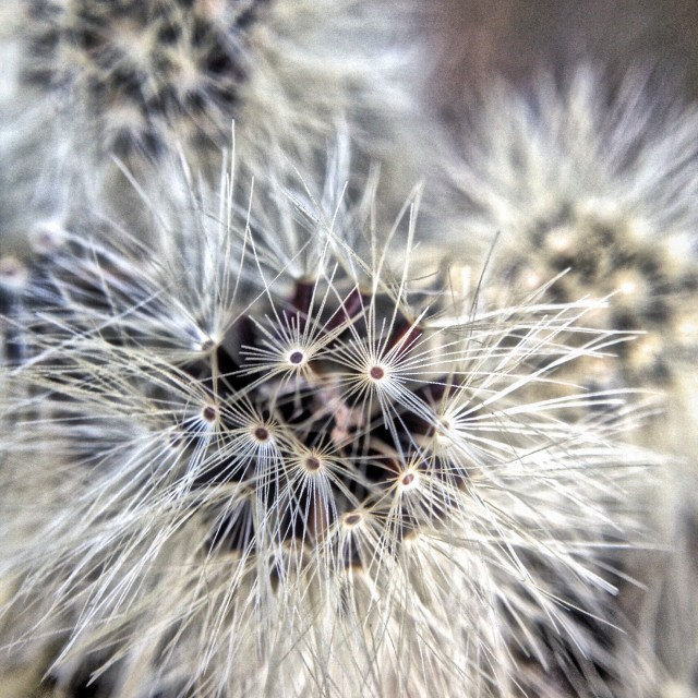 """Seed head from a flower"" stock image"
