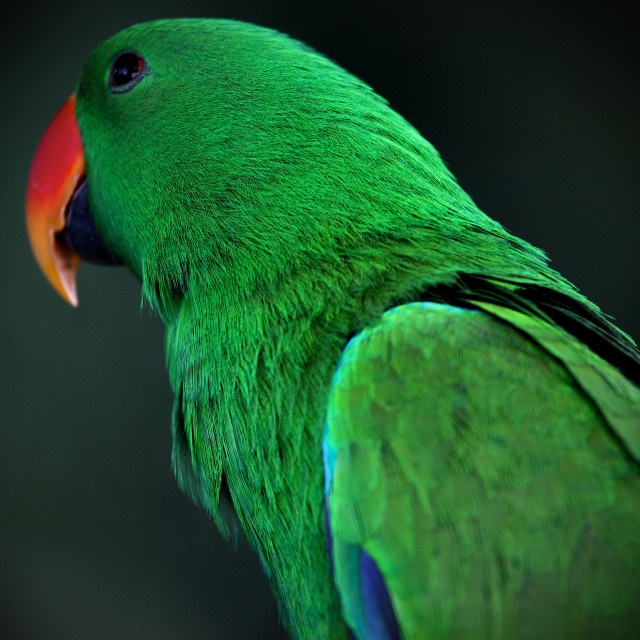 """""""Emerald Parrot"""" stock image"""