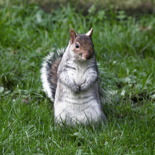 """Eastern gray squirrel"" stock image"