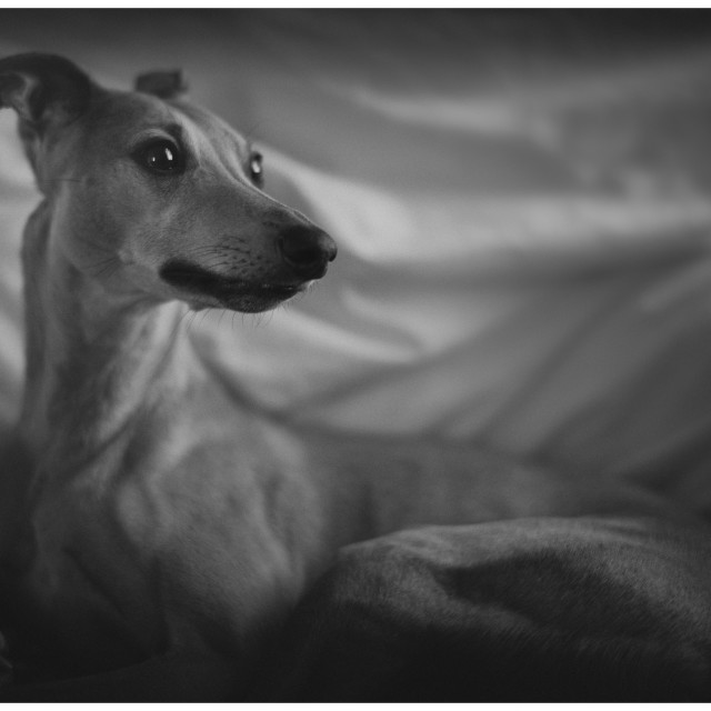 """Molly the Whippet"" stock image"
