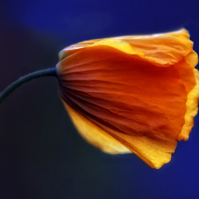 """California poppy"" stock image"