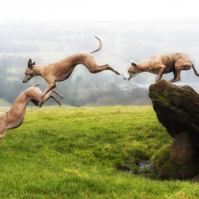 """Jumping Whippets"" stock image"
