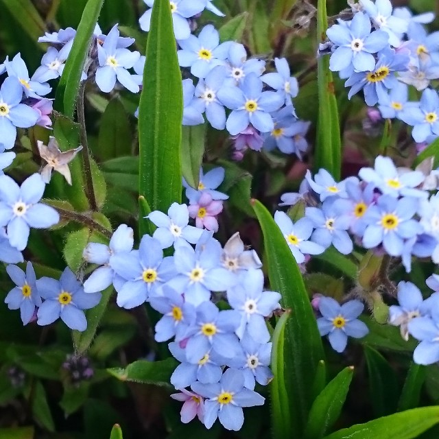 """""""Forget me nots"""" stock image"""