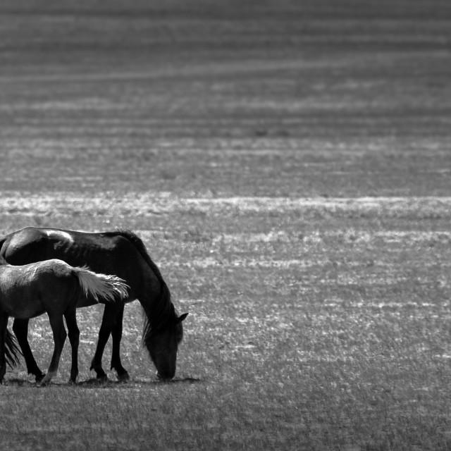 """""""Horses in Inner Mongolia"""" stock image"""