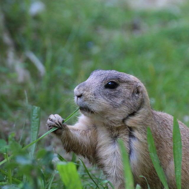 """""""prairie dog eating grass and remains alert"""" stock image"""