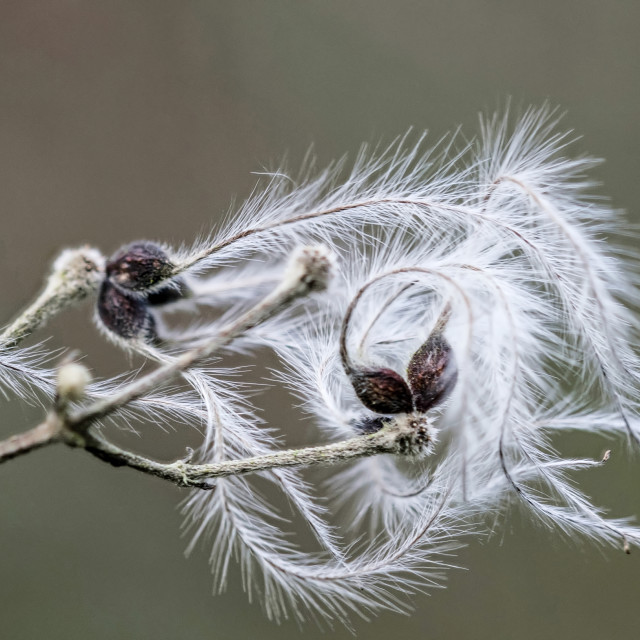 """""""Feather Seed"""" stock image"""