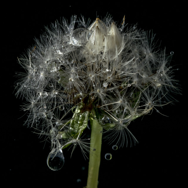 """Dandelion Drops"" stock image"