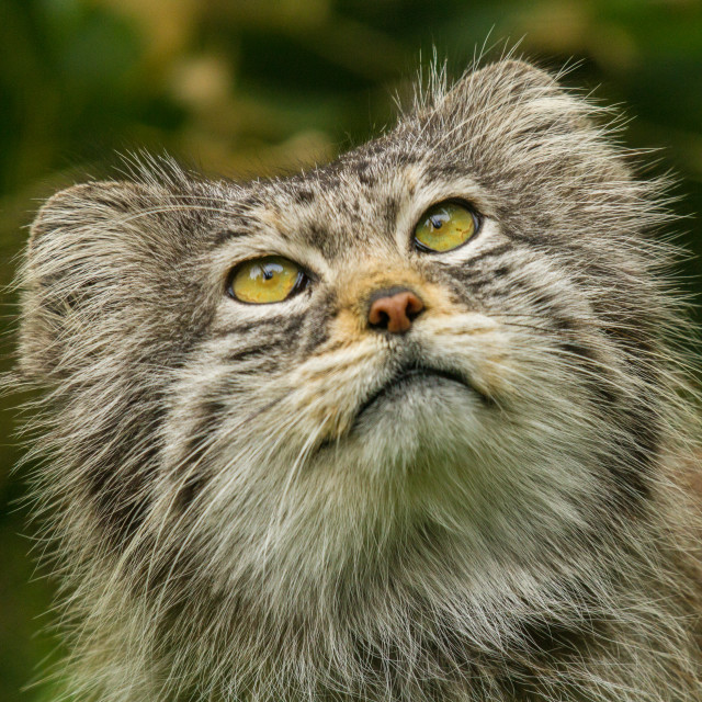 """Pallas Cat"" stock image"