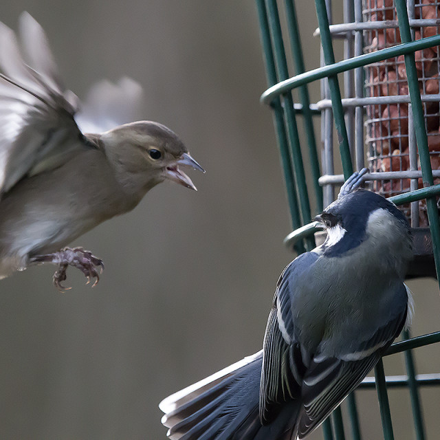 """Bird Feeder Attack."" stock image"