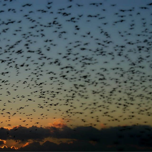 """Starlings"" stock image"