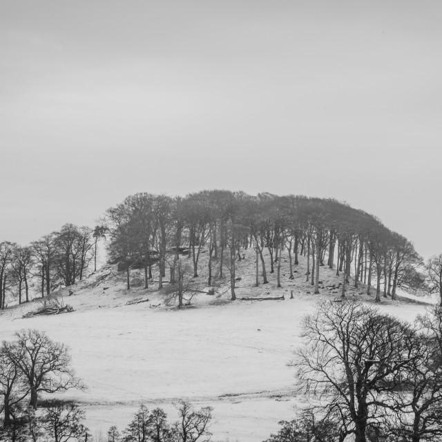 """Misty Snow Trees"" stock image"