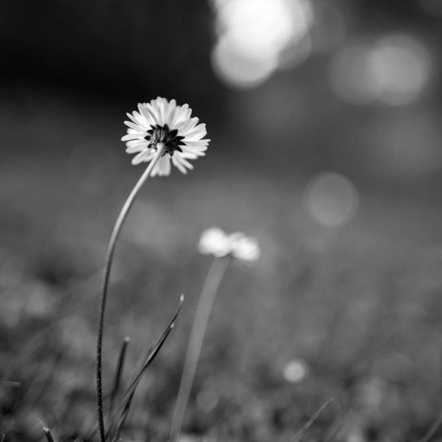 """Viewpoint of a daisy"" stock image"