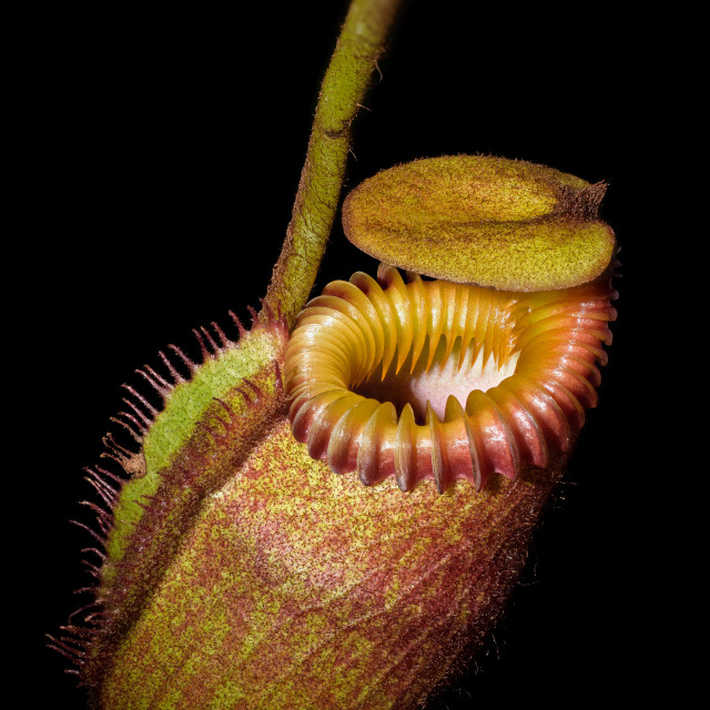 """Pitcher of carnivorous plant"" stock image"