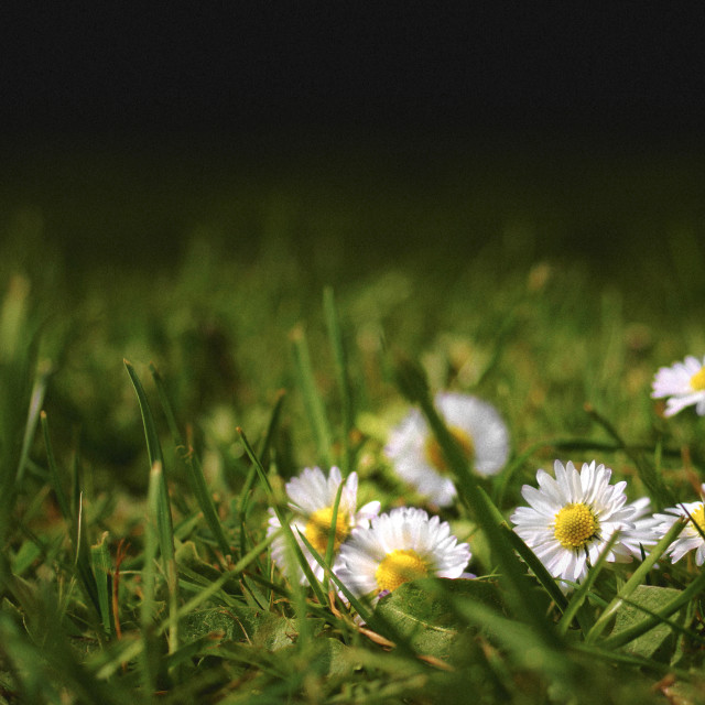 """Daisies on garden lawn"" stock image"