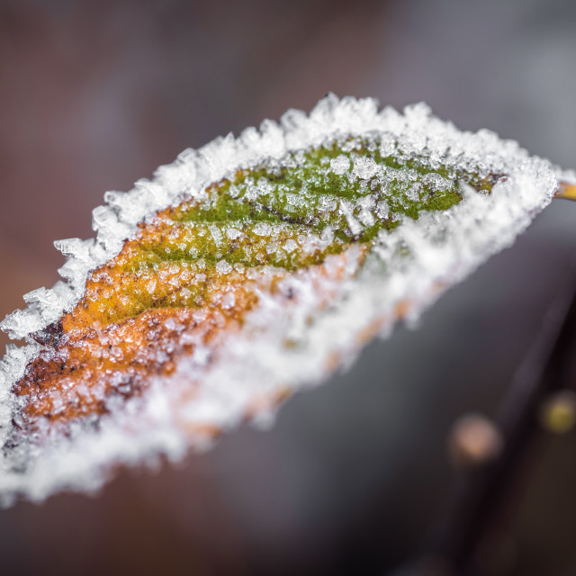 """Leaf, between autumn and winter"" stock image"