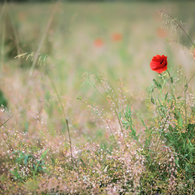 """""""Lonely poppy"""" stock image"""