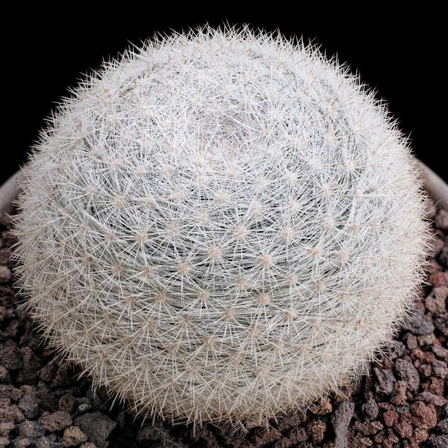 """Snowball cactus"" stock image"