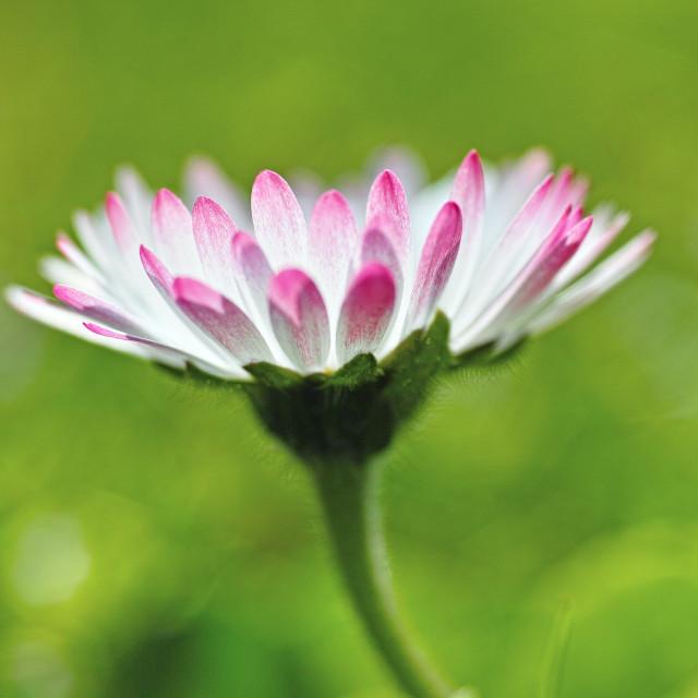 """Daisy flower"" stock image"