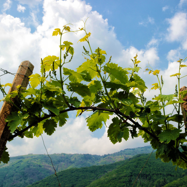 """Rows of vines in the hills of Prosecco"" stock image"