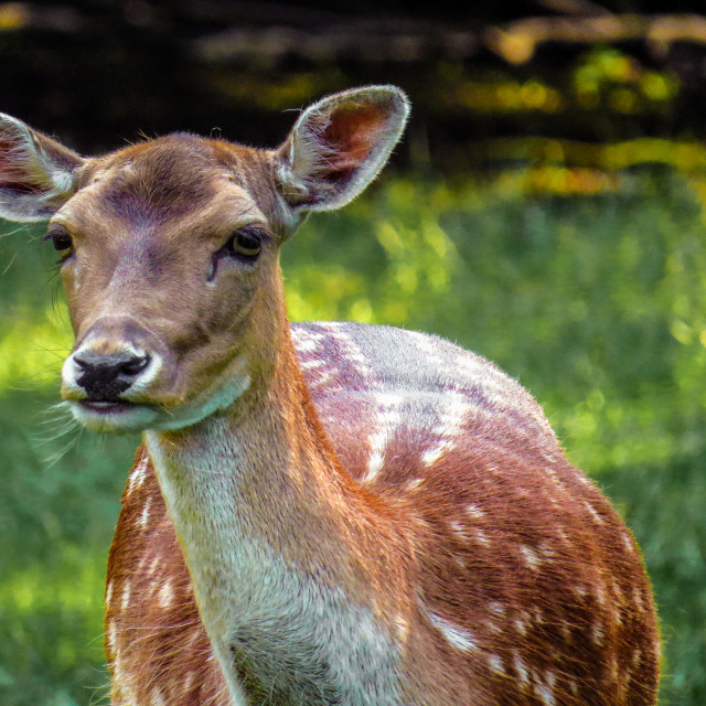 """Deer in Denmark"" stock image"