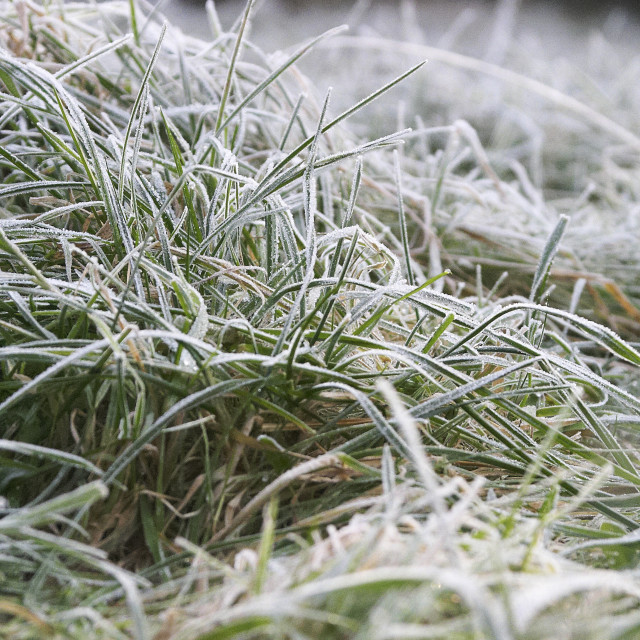 """Frosty winter grass"" stock image"