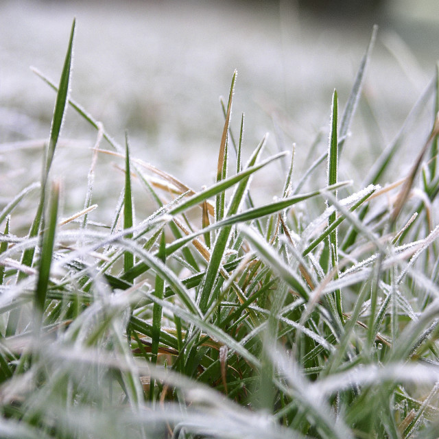 """Frosty Grass"" stock image"
