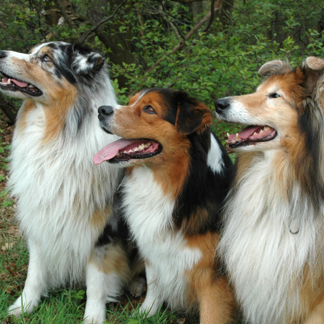 """""""Australian sheperds and collie"""" stock image"""