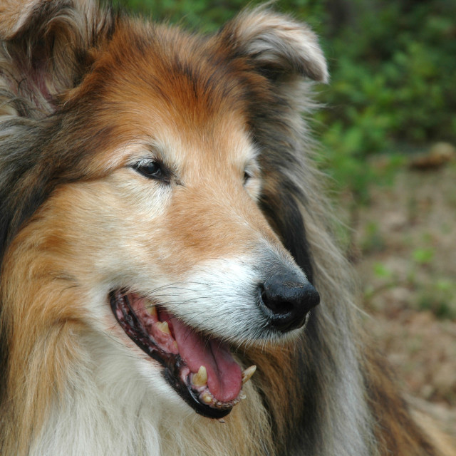 """""""Head of a Collie"""" stock image"""