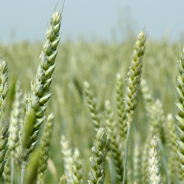 """""""Field-with-grain"""" stock image"""