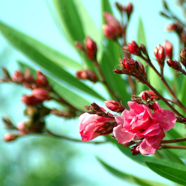 """Oleander"" stock image"