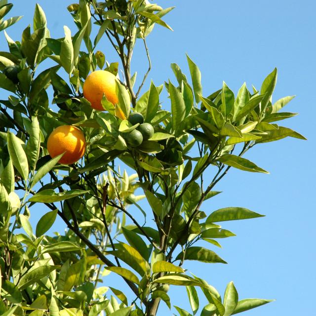 """""""Tree with Oranges"""" stock image"""
