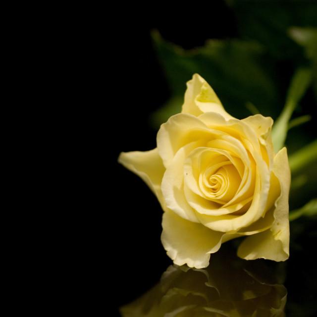 """Yellow rose on black"" stock image"