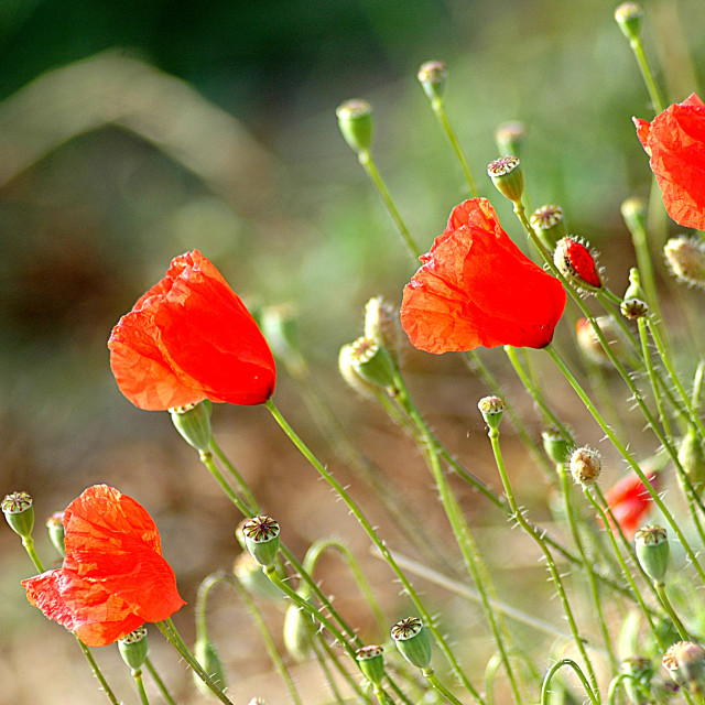 """""""poppies in nature"""" stock image"""