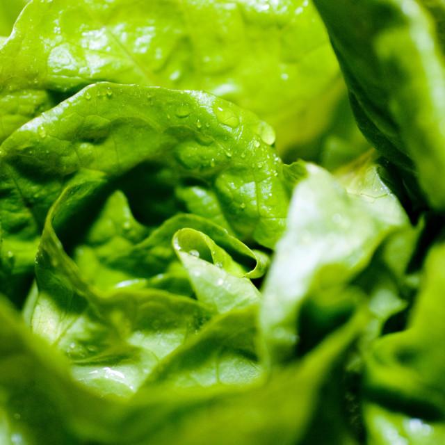 """fresh lettuce close"" stock image"