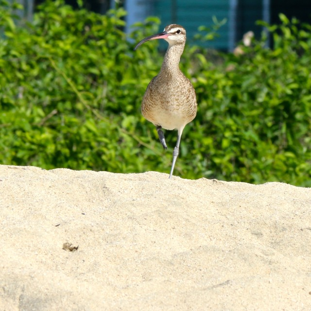"""""""curlew on mexican beach"""" stock image"""
