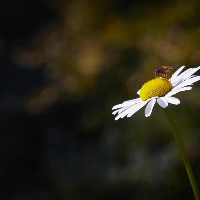"""Gathering pollen"" stock image"