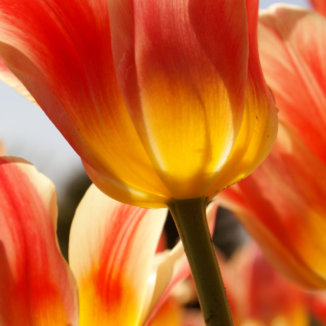 """""""Tulipes d'Andrée"""" stock image"""
