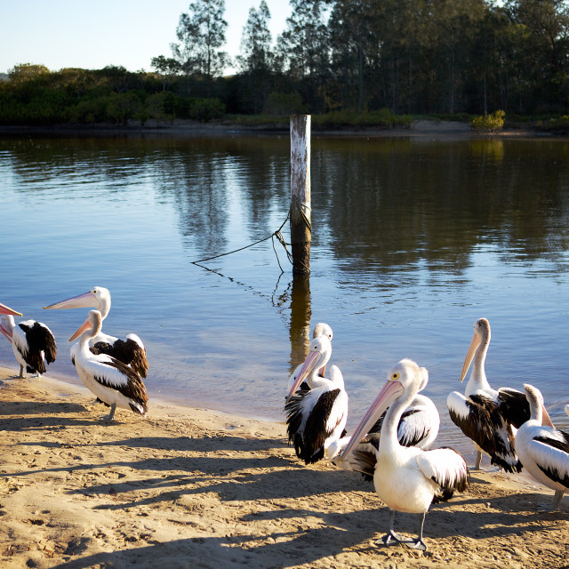 """Pelicans on the beach"" stock image"