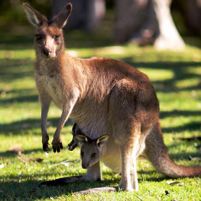 """Kangaroo and baby"" stock image"