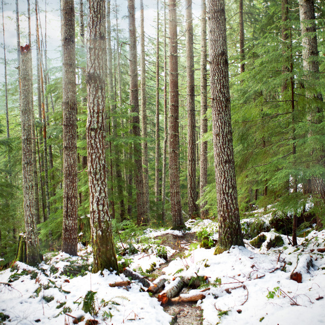 """Trails in the forest covered in snow."" stock image"