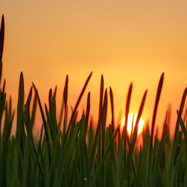 """""""Wheat Sprouts and Sunset"""" stock image"""