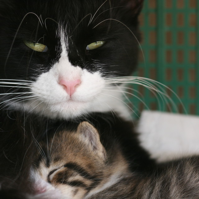 """Kitten and its mom"" stock image"