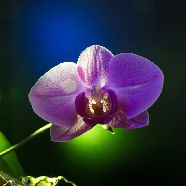 """""""Orchid flower on black background"""" stock image"""