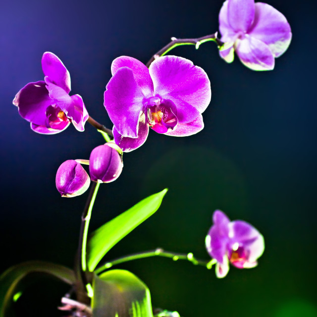 """""""Orchid flower (phalaenopsis ambiance) view"""" stock image"""