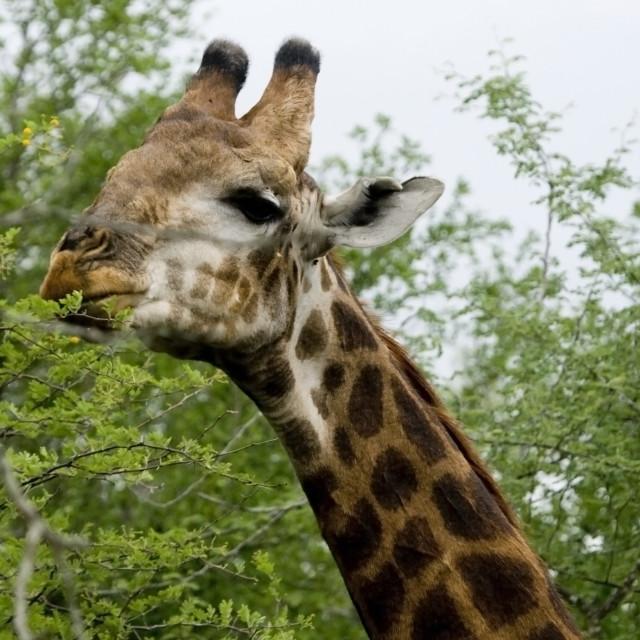 """Head of a giraffe"" stock image"